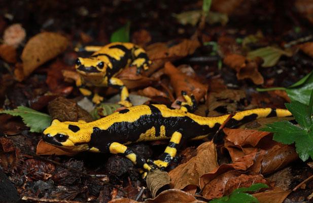 Fire Salamanders (Salamandra salamandra gigliolii)