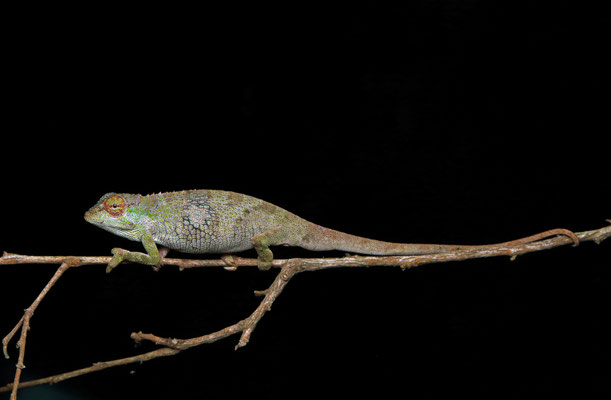 Tolley's Forest Chameleon (Kinyongia tolleyae) male
