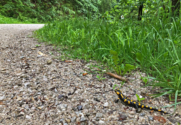 Fire Salamander (Salamandra salamandra) along the path.