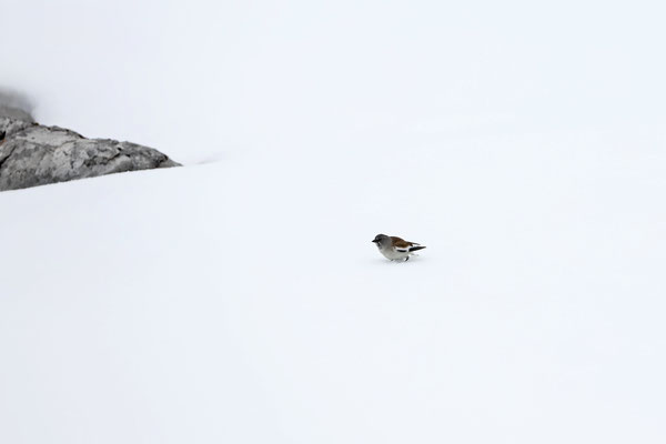 White-winged Snowfinch (Montifringilla nivalis)