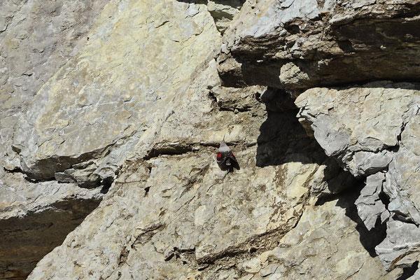 Wallcreeper (Tichodroma muraria)