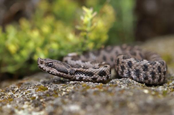 Asp Viper (Vipera aspis hugyi) close-up