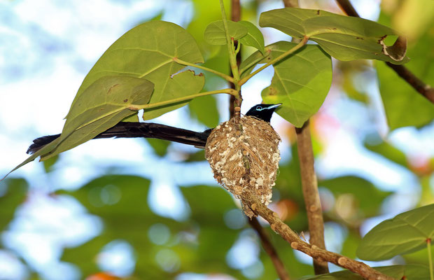Seychelles Paradise Flycatcher (Terpsiphone corvina) male on nest.