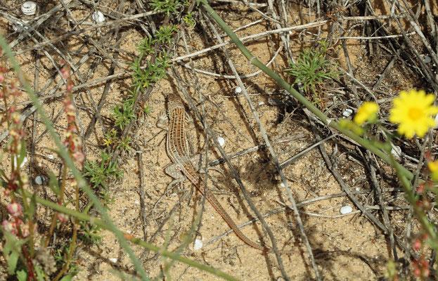 Schreiber's Fringe-fingered Lizard (Acanthodactylus schreiberi) was common but shy as always.