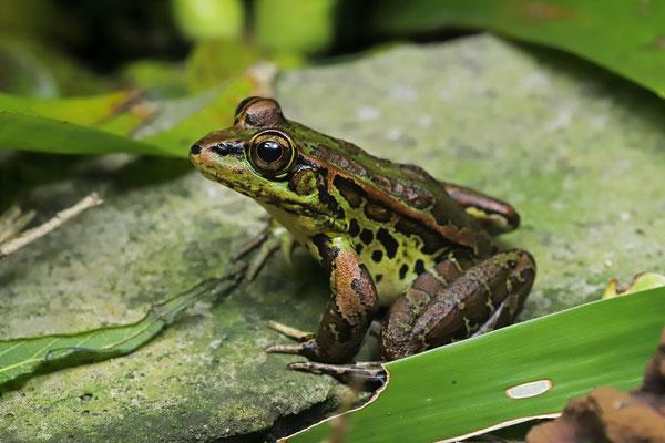 Montane Leopard Frog (Lithobates taylori)