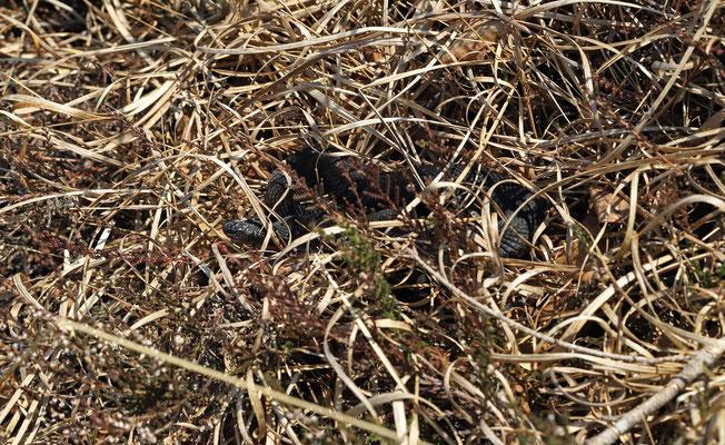 Melanistic Adder (Vipera berus)