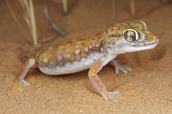 Anderson's Short-fingered Geckoes (Stenodactylus petrii)