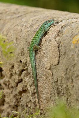 Ibiza Wall Lizard (Podarcis pityusensis) male with stunning breeding colouration.