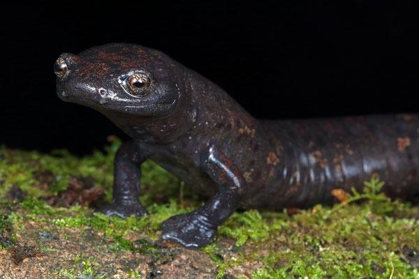 Giant Palm Salamander (Bolitoglossa dofleini) female