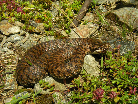 Walser Viper (Vipera walser) female