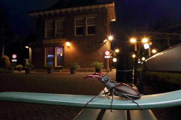 Stag Beetle (Lucanus cervus) in urban habitat