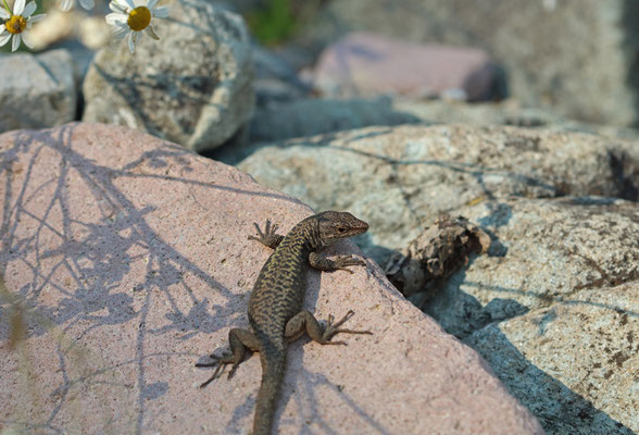 Spiny-tailed Lizard (Darevskia rudis)