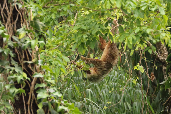 Northern Two-toed Sloth (Choloepus hoffmanni)