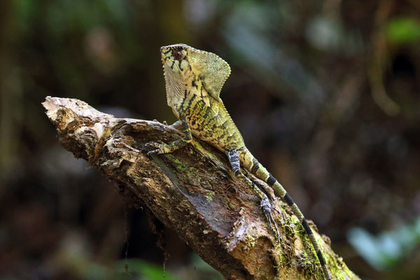 Smooth Helmeted Iguana (Corytophanes cristatus)