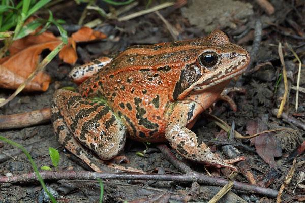 Caucasian Brown Frog (Rana macrocnemis)