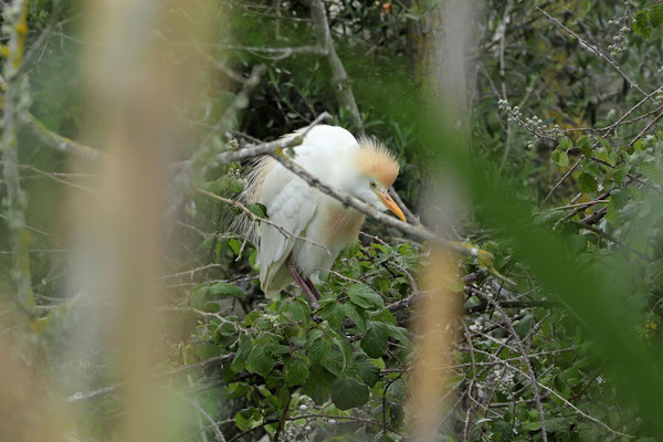 Cattle Egret (Bubulcus ibis) in breeding plumage.