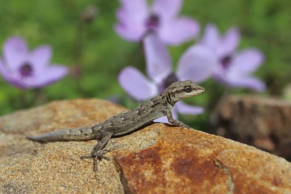 Oertzen's Gecko (Mediodactylus oertzeni)
