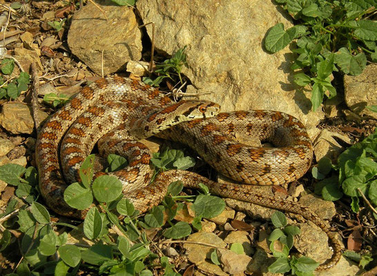 Leopard Snake (Zamenis situla) adult, Skyros, Greece, October 2015