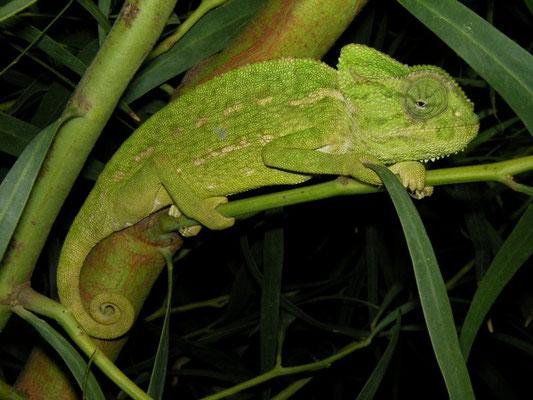 Mediterranean Chameleon (Chamaeleo chamaeleon), Calabria, Italy, April 2014