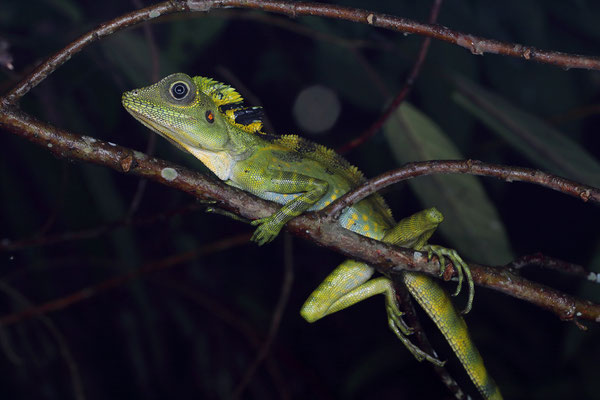 Great Anglehead Lizard (Gonocephalus grandis)