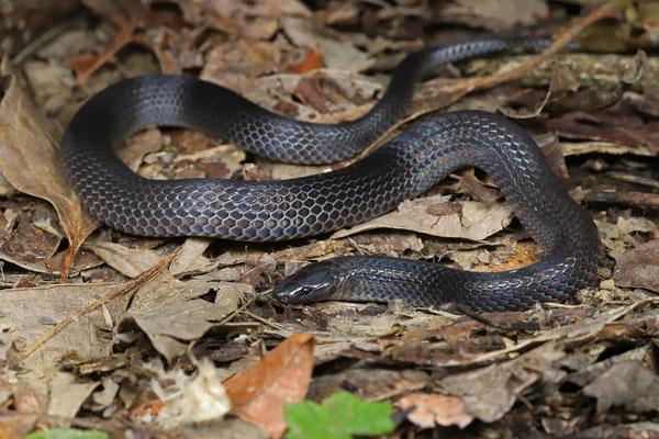 Talamanca Earth Snake (Geophis talamancae)