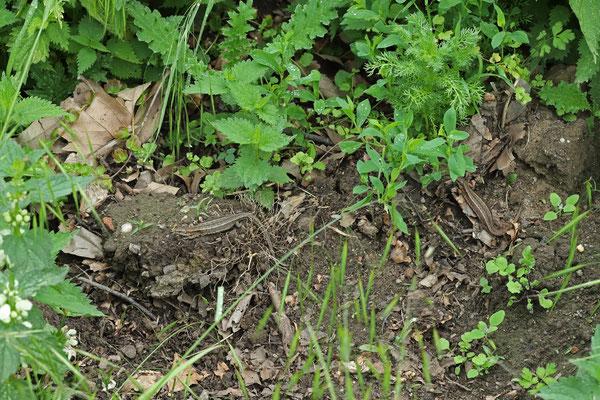 Basking Viviparous Lizards (Zootoca vivipara)