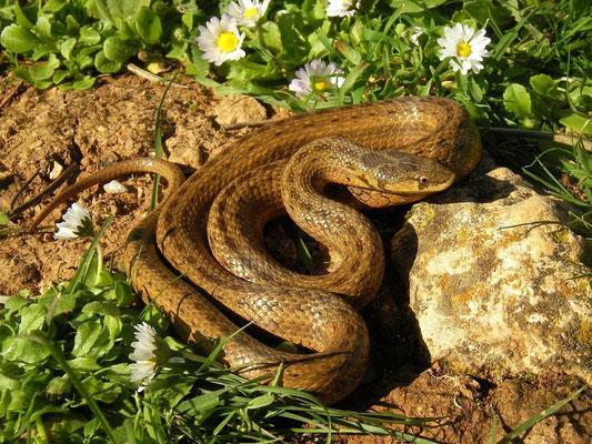 Balearic False Smooth Snake (Macroprotodon cucullatus), Mallorca, Spain, December 2014