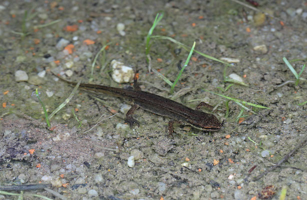 Palmate Newt (Lissotriton helveticus) male