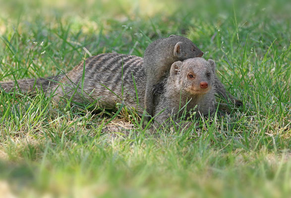 Banded Mongoose (Mungos mungo) mother and young.