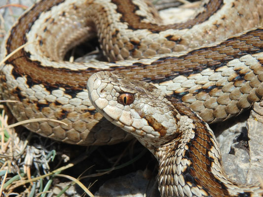 Greek Meadow Viper (Vipera graeca) female