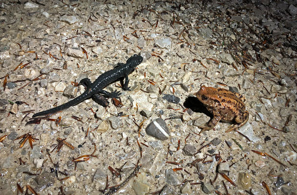 Alpine Salamander (Salamandra atra) and Common Toad (Bufo bufo)