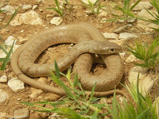 Dotted Dwarf Snake (Eirenis punctatolineatus)