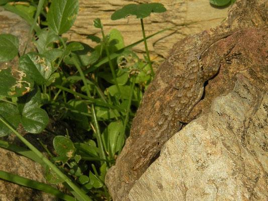 Kotschy's Gecko (Mediodactylus kotschyi) basking, Skyros, Greece, October 2015