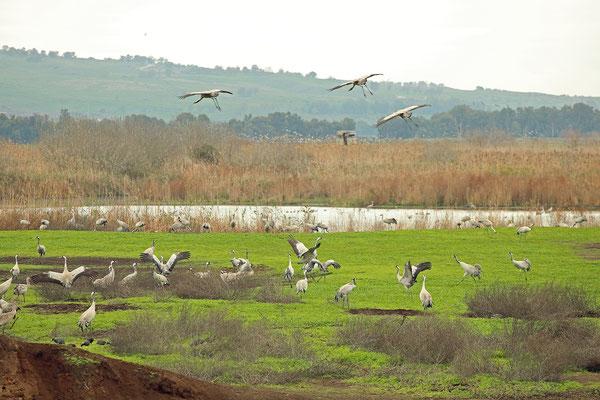 Common Cranes (Grus grus)