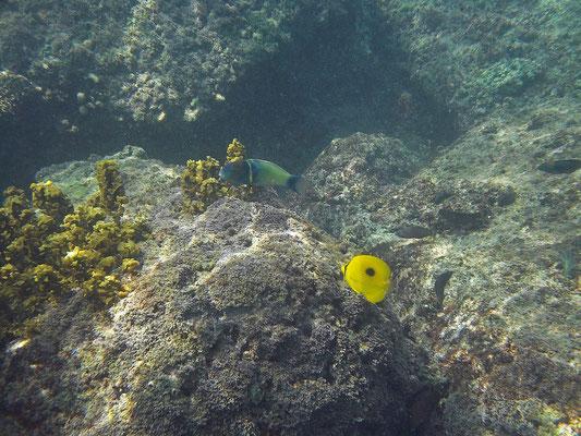 Goldbar Wrasse (Thalassoma hebraicum) and Zanzibar Butterflyfish (Chaetodon zanzibariensis)