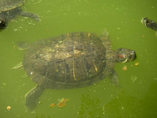Red-eared slider (Trachemys scripta elegans), Malta, August 2010