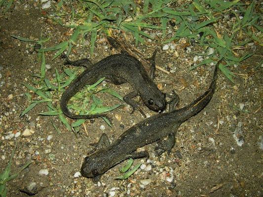 Macedonian Crested Newt (Triturus macedonicus) landphase, Prespes Lakes, Greece, May 2013