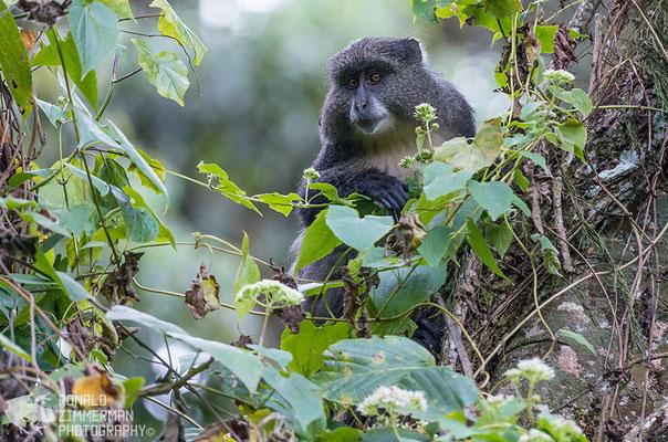 Samango Monkey (Cercopithecus mitis)