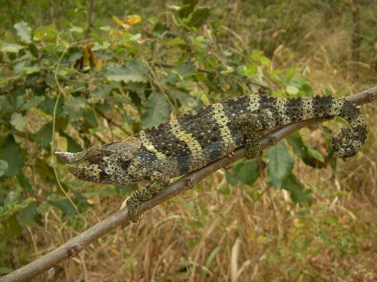 Meller's Chameleon (Trioceros melleri)