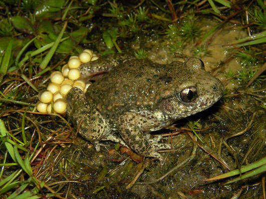 Midwife Toad (Alytes obstetricans) male with freshly deposited eggs