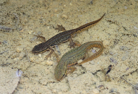 Palmate Newts (Lissotriton helveticus)