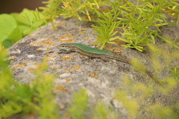 Ibiza Wall Lizard (Podarcis pityusensis) female