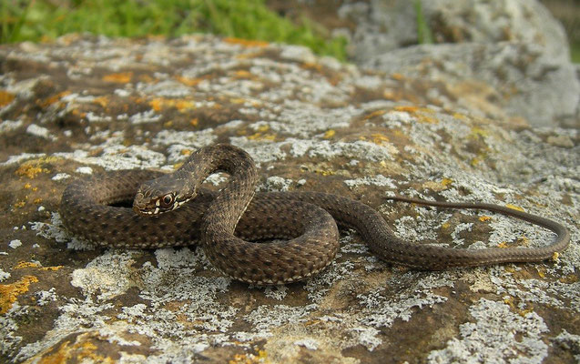 Western Montpellier Snake (Malpolon monspessulanus) juvenile