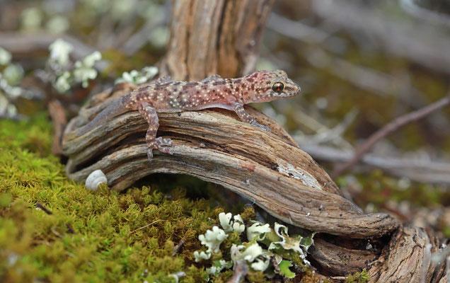 Turkish Gecko (Hemidactylus turcicus) juvenile