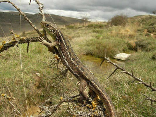 Western Green Lizard (Lacerta bilineata), Burgos, Spain, April 2012
