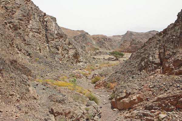 Habitat of Sinai Agama and Ornate Spiny-tailed Lizard.