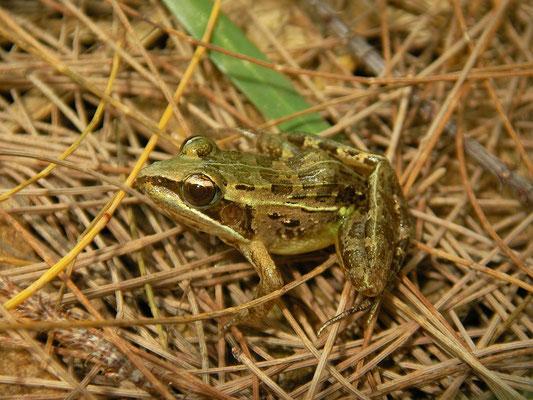 Mascarene Frog (Ptychadena mascareniensis)