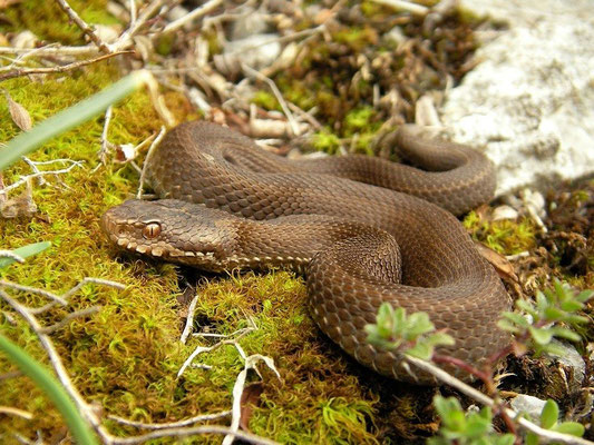 Seoane's Viper (Vipera seoanei), Cantabria, Spain, April 2012