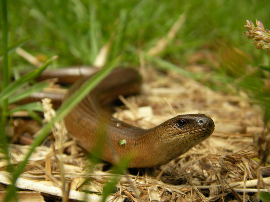 Slow Worm (Anguis fragilis), Naardermeer, the Netherlands, May 2009