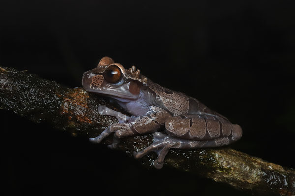 Crowned Tree Frog (Triprion spinosus)